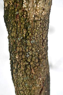 Black haw (Viburnum prunifolium) bark