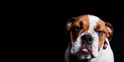 bulldogblack3