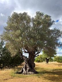 acebuche-wild-olive-tree.jpg