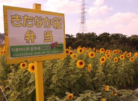 冬に咲くひまわり。中止になりました。北中城村のひまわり祭りの会場へ行ってきました。