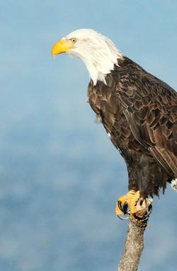 bald-eagle-1247115_960_720