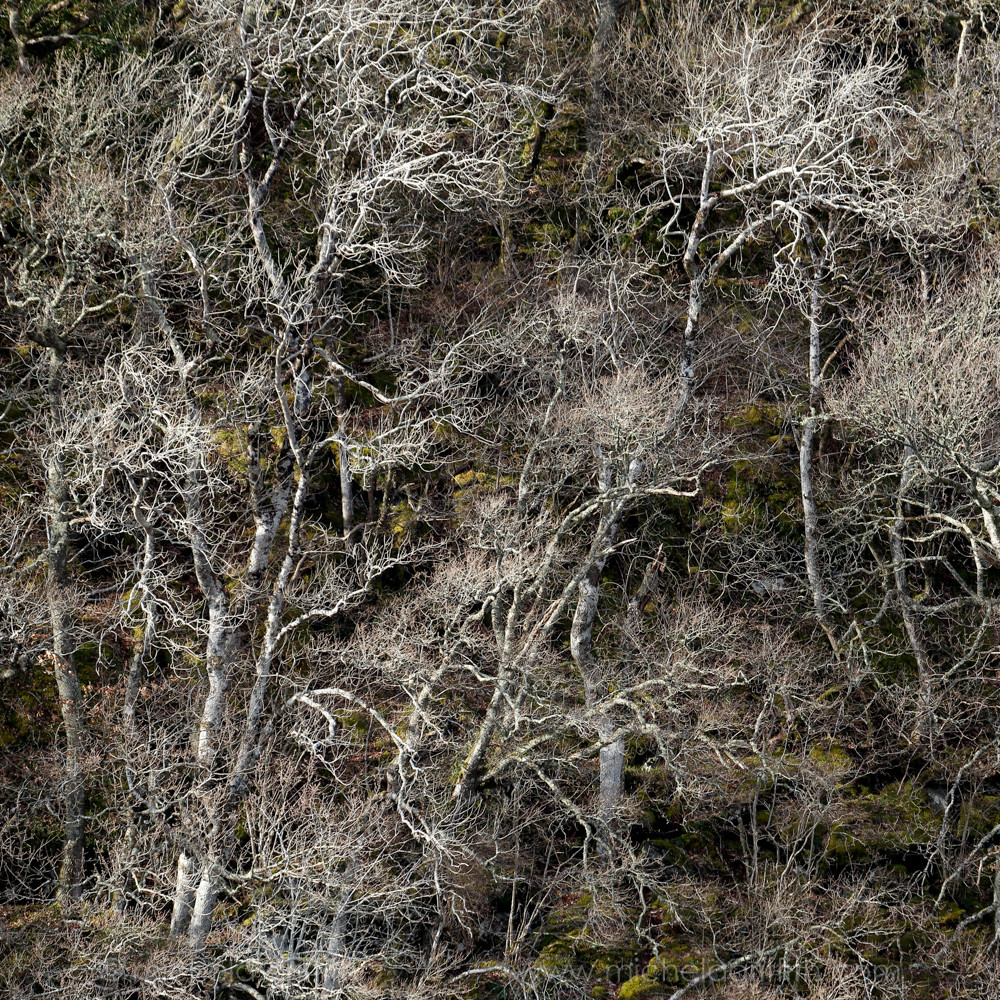 Scotland Argyll Tangled and leafless trees cascade down the bank at the edge of Loch Coille-Bharr