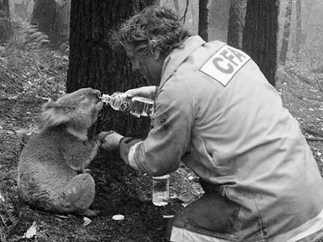 Koala-Saves-From-Brush-Fire bw.png