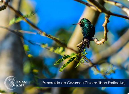 Esmeralda de Cozumel (Chlorostilbon forficatus)