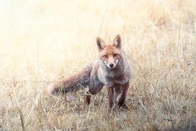 """Wild Fox"""