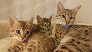SavannahCats.jpg