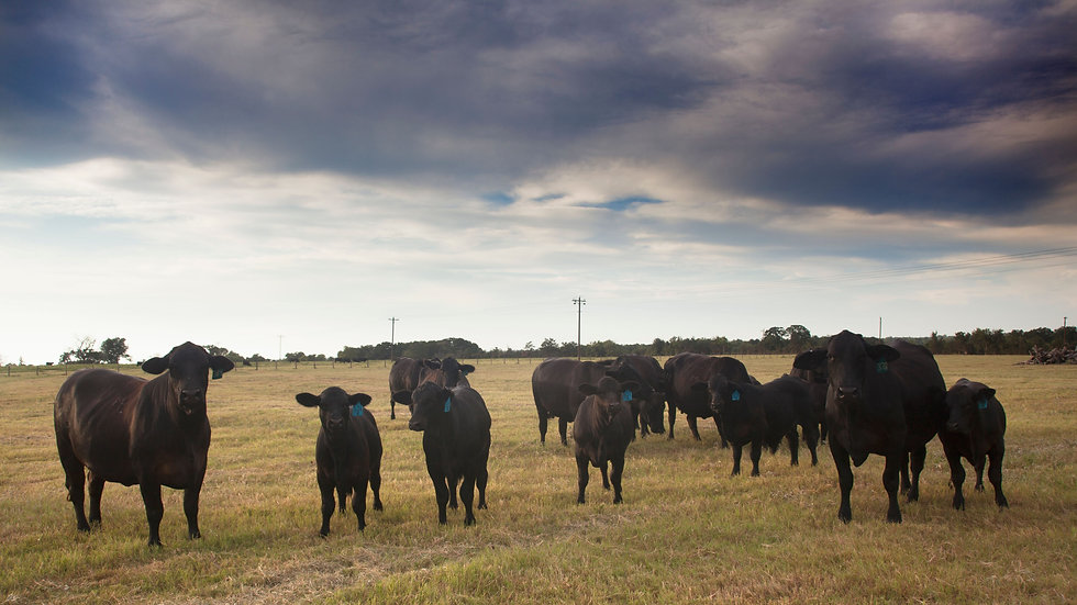 group of cows at sunset in a pasture