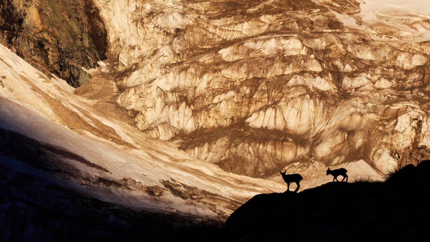 Горные козлы на Кавказе