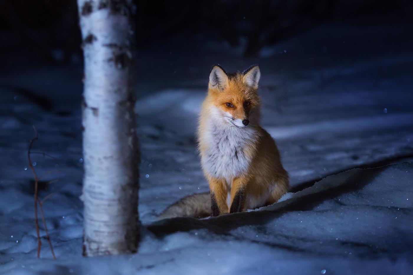 Лисица в Таганае