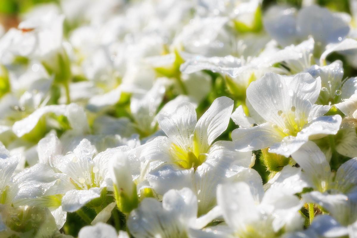 Высокогорные цветы