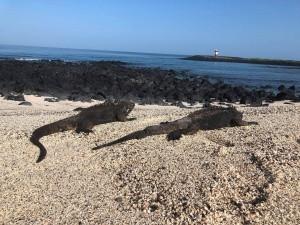 Marine Iguanas on the beach- tough life!