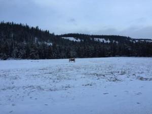 Elk / wildlife
