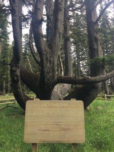 The Octopus Tree, Cape Mears, Oregon