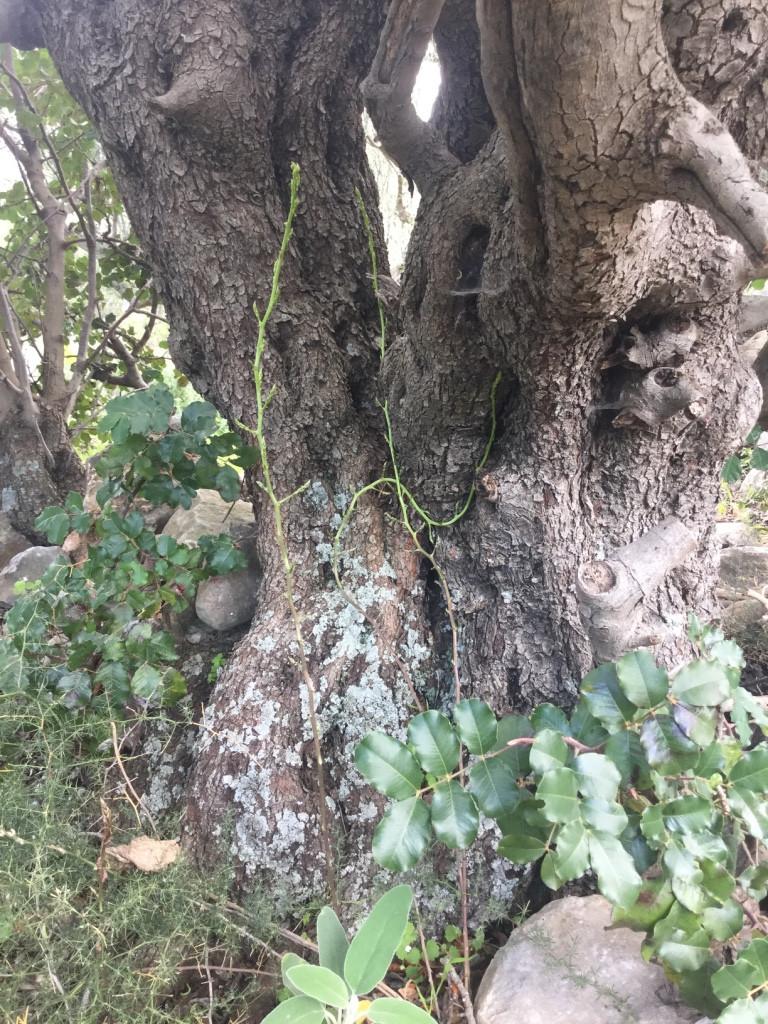 wild asparagus Mani olive tree