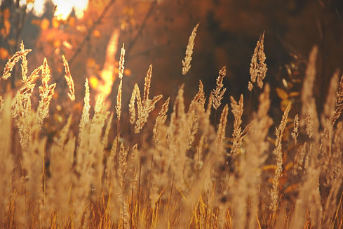 ears-of-corn-field-sun-light-gold-fall-l