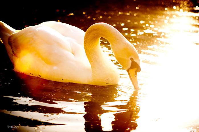 30 лунный день - Золотой лебедь - день БлагоДарности и Прощения