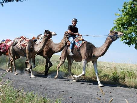 LES DROMADAIRES DE PICARDIE /OLIVIER'S CAMELS