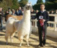 Presentation d'un  lamas en concours