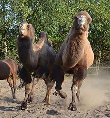 les deux chameaux de Bactriane de Karin Peute