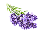 Lavender flowers in closeup_edited.png