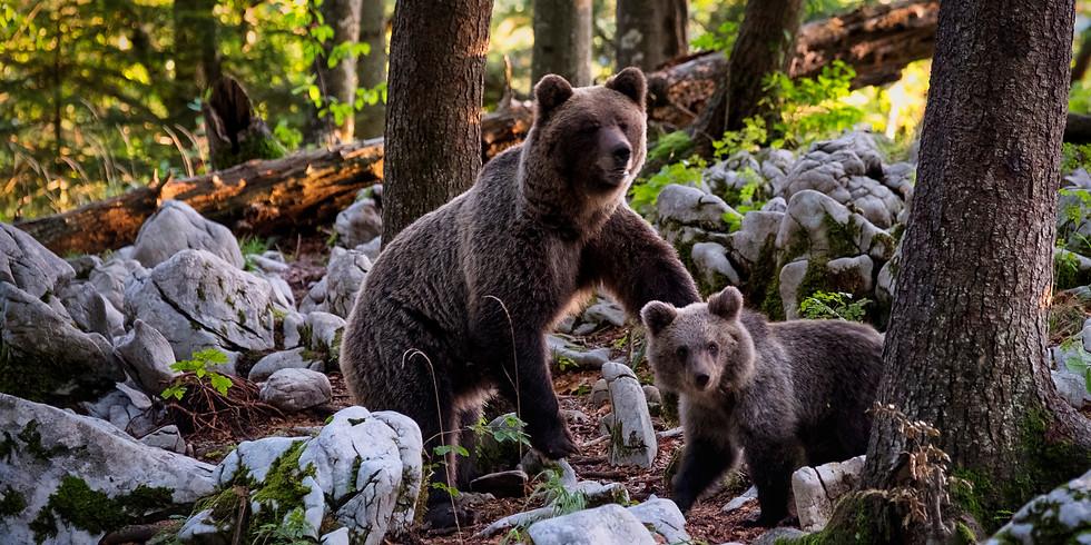 Brown Bear Photohunting - Slovenija, EU - A Black Raven Solutions Adventure  (1)