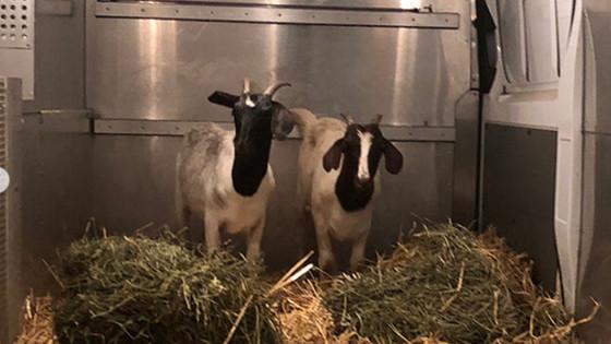 NY: Goats on Subway Tracks Head to Upstate Sanctuary