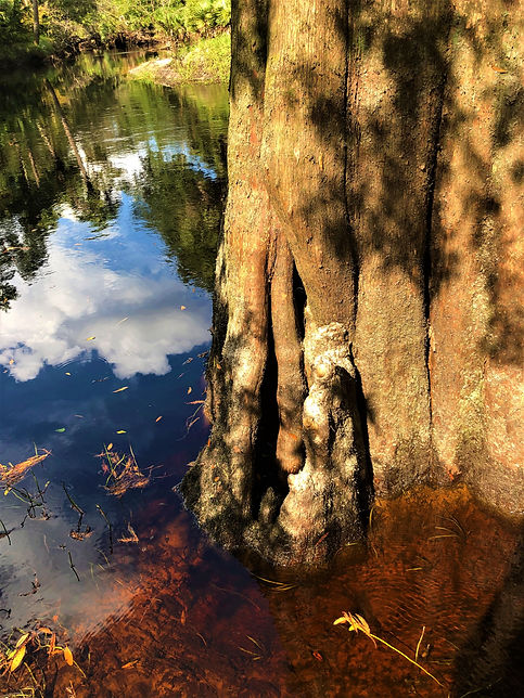 Cypress trunk in water with sky reflecti