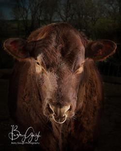 Barry Gough Pet Portraits