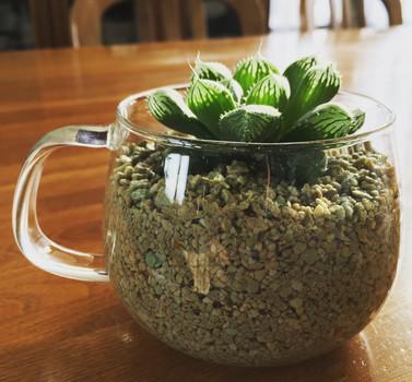 ハオルチア ビックモックを透明なティーカップに植え替えました。