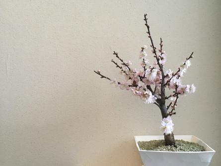 クリスタルグレインを敷き詰めたポットに植え替えをし梅の花を咲かせました。