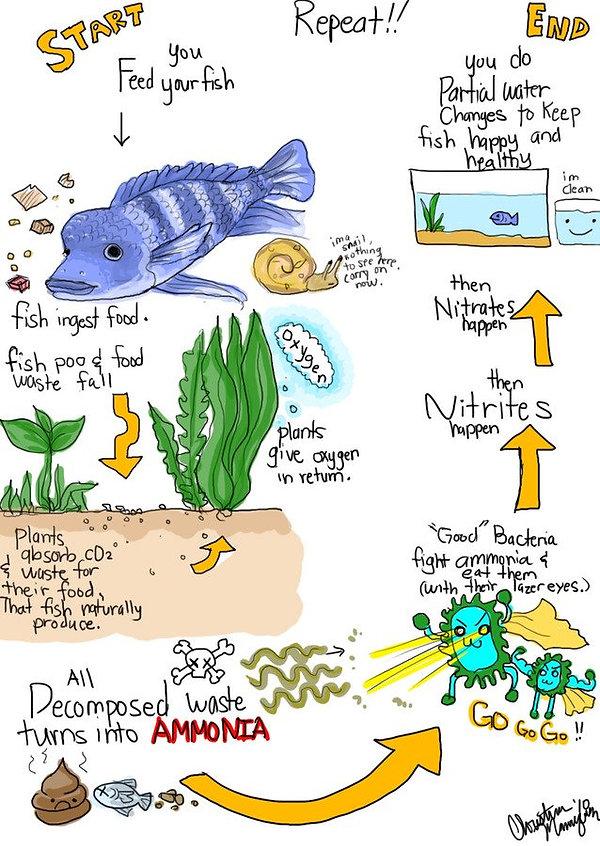 Helpful hints on nitrogen cycle in an aquarium