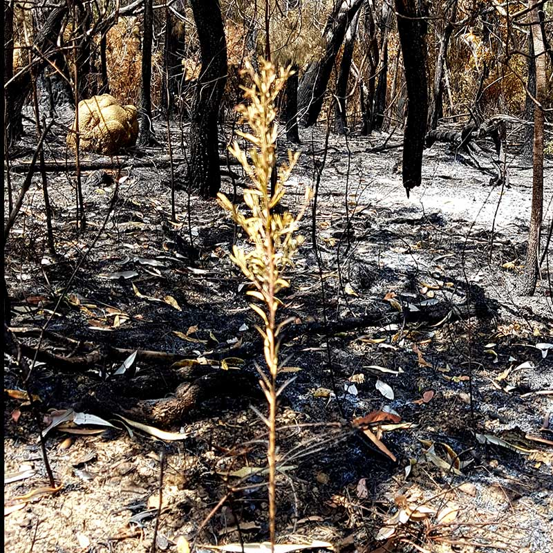 Ashes and burnt trees aftermath of the Lake Coorooibah Fires