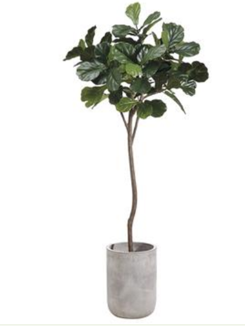 Fiddle Leaf Tree in Fiber Cement Planter 7'