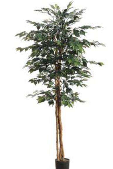 Ficus Tree 6FT