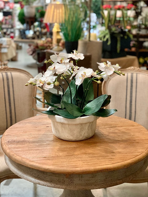 "Phalaenopsis Orchid Plant in Terra Cotta Pot 15.5""H"
