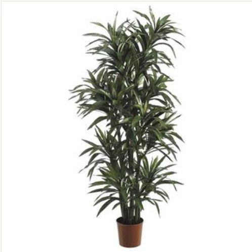Yucca Tree 6'