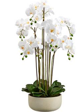 """Phalaenopsis Orchid Plant x7 in Cement Pot 39"""""""