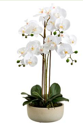 """Phalaenopsis Orchid Plant x4 in Cement Pot 25"""""""