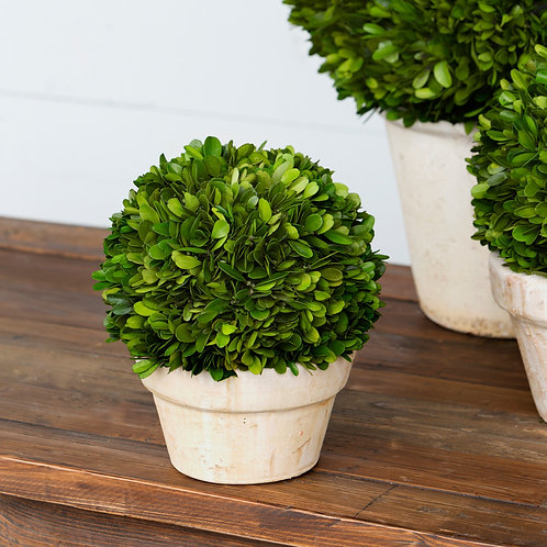 "Potted Preserved Boxwood Ball, Medium 8.5""x10.5"""