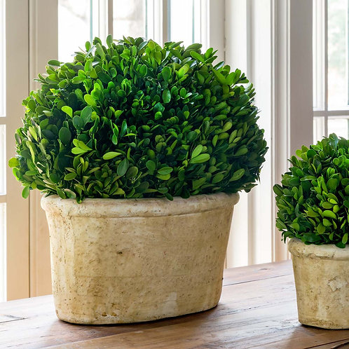 Potted Oval Preserved Boxwood, Large
