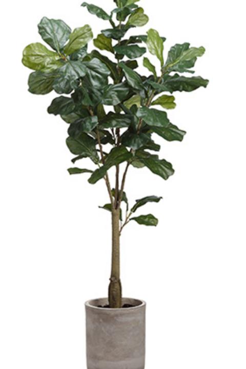 Fiddle Leaf Tree in Fiber Cement Planter 5.5'