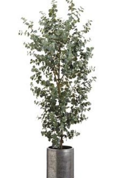 Eucalyptus Tree in Aluminum Planter 6.5'
