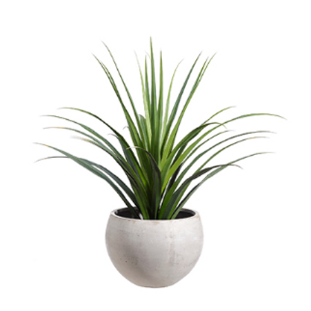 Dracaena in Fiber Cement Planter 53""