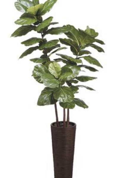 Fiddle Leaf Tree in Bamboo/Rope Container 7.5'