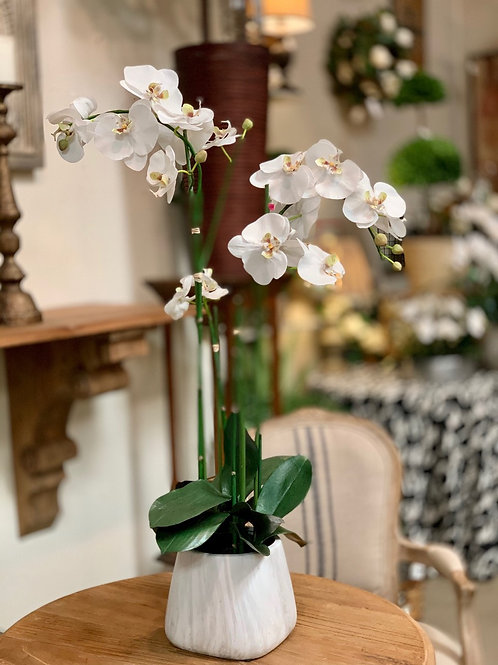 """Phalaenopsis Orchid Plant in Terra Cotta Pot 35""""H"""