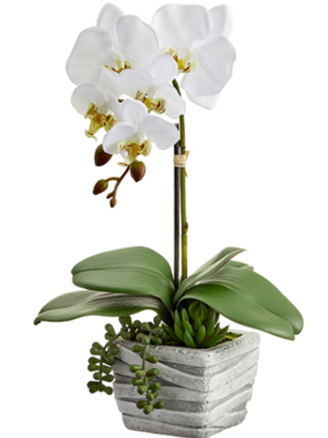 Phalaenopsis Orchid Plant/Succulent in Cement Pot 16""