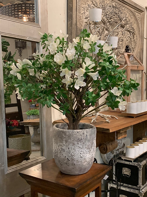 """Rhododendron Plant in Cement Planter 28"""""""