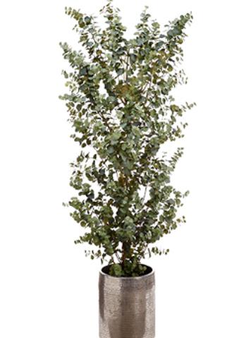 Eucalyptus Tree in Aluminum Planter 8'