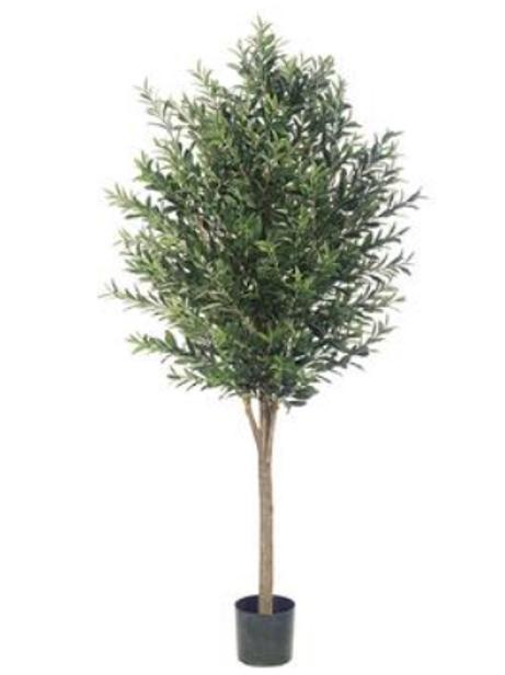 Olive Tree 6'