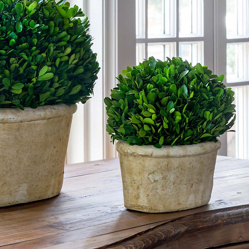 Potted Oval Preserved Boxwood, Small